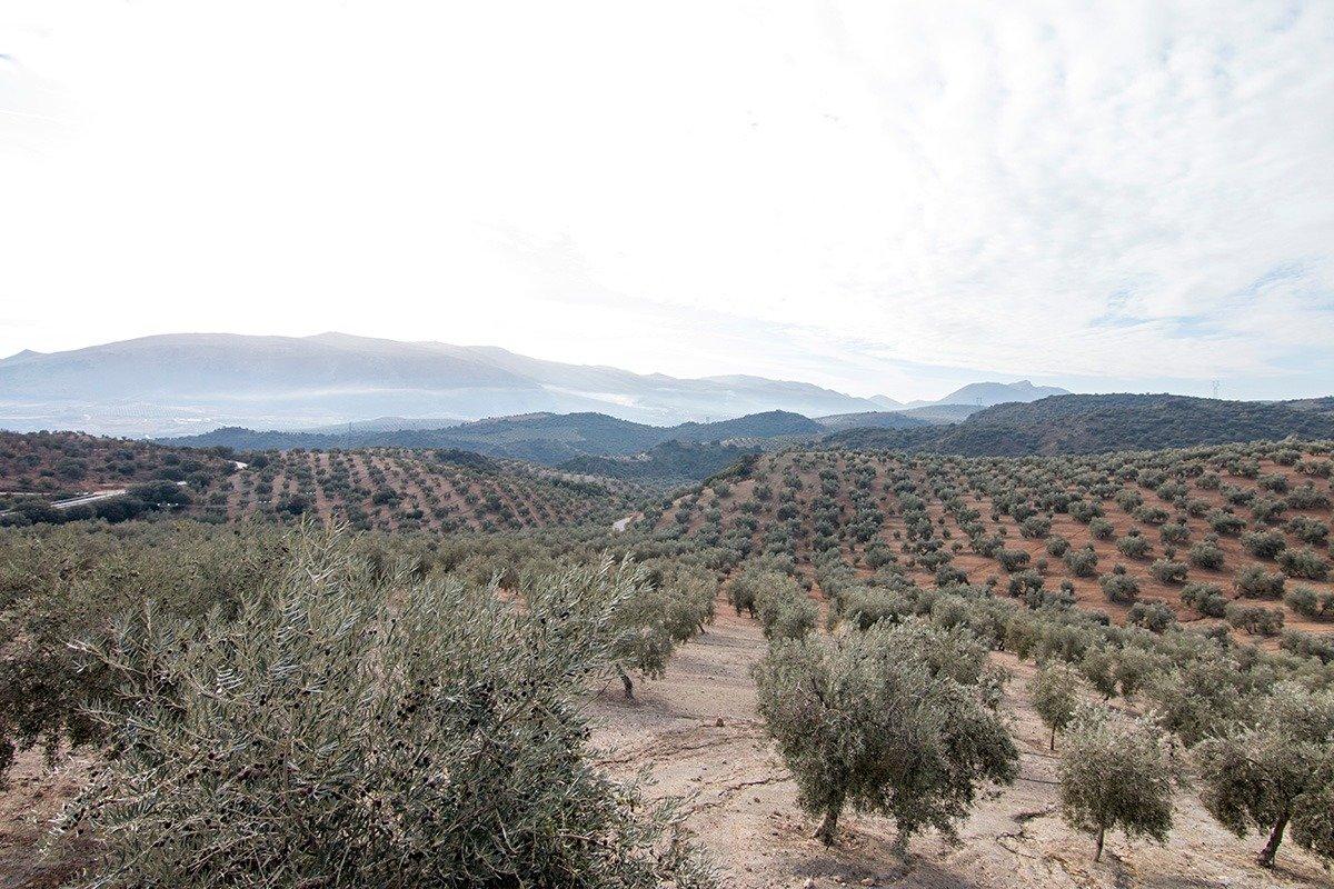 Magnifica finca 46 hectáreas de la cual plantada de olivos, aproximadamente 43.