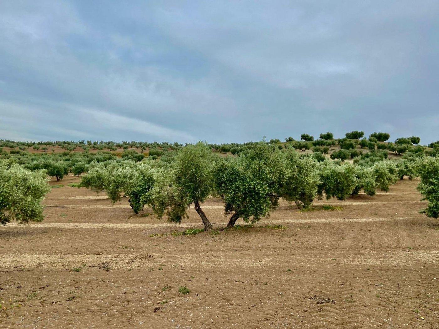 Fincas de olivos en producción
